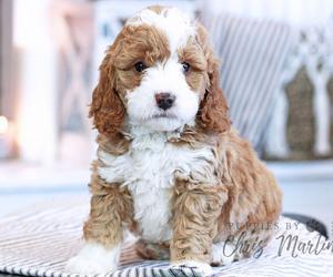 Miniature Bernedoodle Puppy for Sale in EPHRATA, Pennsylvania USA