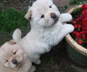 Chow Chow Puppy for Sale in SWANTON, Ohio USA