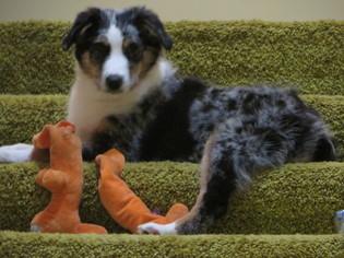 Australian Shepherd Dog For Adoption in STATESBORO, GA, USA