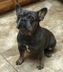 French Bulldog Puppy For Sale in FRESNO, CA, USA