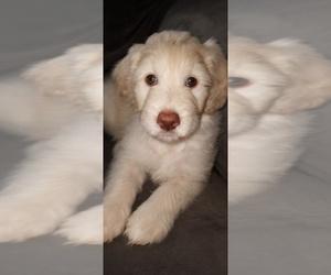 Labradoodle Dog for Adoption in BROWNINGS CORNER, Kentucky USA