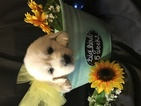 Golden Retriever Puppy For Sale in TOPEKA, KS,