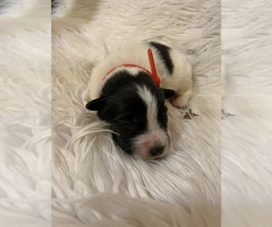 Great Pyrenees-Newfoundland Mix Puppy for Sale in DALE, Indiana USA