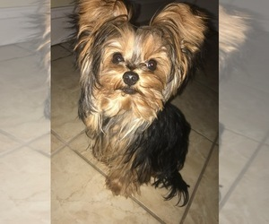 Yorkshire Terrier Puppy for Sale in MIDDLETOWN, New York USA