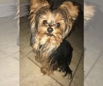 Yorkshire Terrier Puppy For Sale in MIDDLETOWN, NY, USA