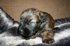 Soft Coated Wheaten Terrier Puppy Snickers