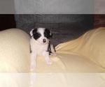 Puppy 7 Border Collie