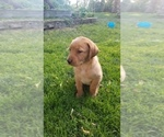 Small Photo #8 Labrador Retriever Puppy For Sale in YAKIMA, WA, USA
