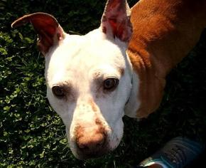 Brandy - Pit Bull Terrier Dog For Adoption
