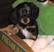 Dachshund Puppy For Sale in ADEL, IA, USA