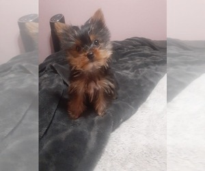 Yorkshire Terrier Puppy for Sale in DINUBA, California USA
