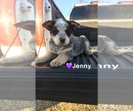 Small #8 Australian Cattle Dog