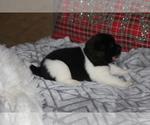 Puppy 5 Akita
