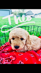 Golden Retriever-Poodle (Toy) Mix Puppy For Sale in ODIN, MN, USA