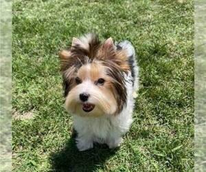Biewer Terrier Puppy for Sale in SAN DIEGO, California USA