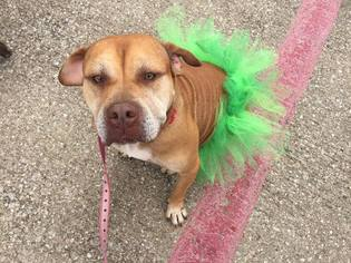 Alexi - American Staffordshire Terrier / Mixed (short coat) Dog For Adoption
