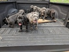 Cane Corso Puppy For Sale in BRANDYWINE, MD, USA