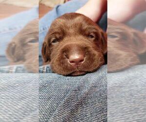 Labrador Retriever Puppy for sale in BURLINGTON, IA, USA
