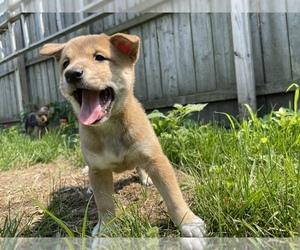 Shiba Inu Dog for Adoption in GR, Michigan USA