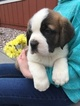 Saint Bernard Puppy For Sale in MEDINA, OH, USA