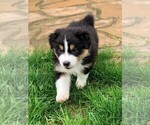 Small Photo #8 Australian Shepherd Puppy For Sale in CARMEL, IN, USA