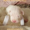 Small Photo #34 Dogo Argentino Puppy For Sale in PINEVILLE, MO, USA
