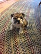 Bulldog Puppy For Sale in MEEKER, OK, USA