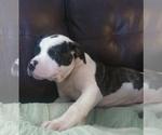 Small #2 American Bulldog