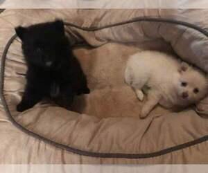 Pomeranian Puppy for sale in ELGIN, NE, USA