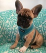 French Bulldog Puppy For Sale in LAKE WORTH, FL