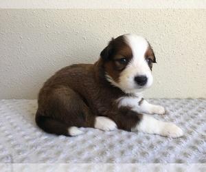 English Shepherd Puppy for sale in NEWPORT, WA, USA