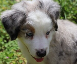 Australian Shepherd Puppy for Sale in CONYERS, Georgia USA