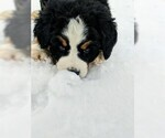 Small #13 Bernese Mountain Dog