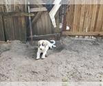 Small #837 Anatolian Shepherd-Maremma Sheepdog Mix