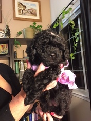 Poodle (Miniature) Puppy For Sale in WESTMINSTER, CO