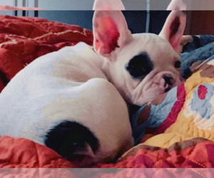 French Bulldog Puppy for sale in LACEY, WA, USA