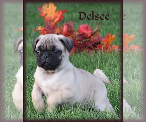 Pug Puppy for Sale in BULLTOWN, Pennsylvania USA