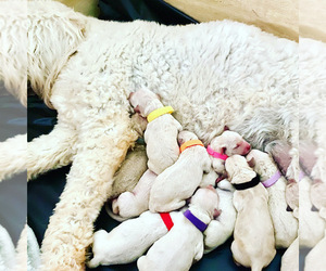 Goldendoodle Puppy for Sale in CLOVER, South Carolina USA