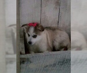 Pomsky Puppy for Sale in DUNDEE, Ohio USA