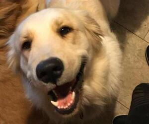 Mother of the Golden Retriever puppies born on 01/23/2019