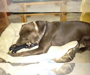 Mother of the Labrador Retriever puppies born on 02/23/2021