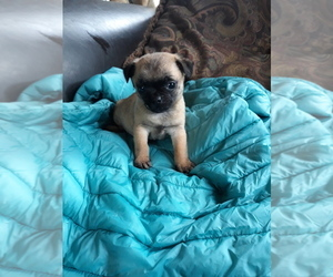 Pug-Russell Terrier Mix Puppy for sale in SALEM, MA, USA