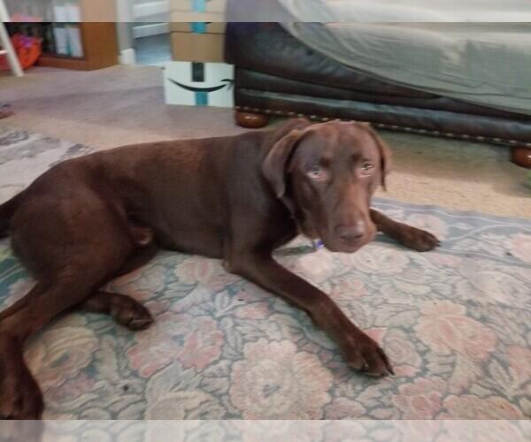 Medium Photo #1 Labrador Retriever Puppy For Sale in HOLLY, MI, USA