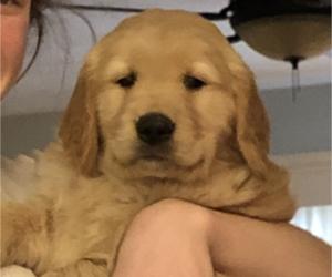 Golden Retriever Dogs for adoption in ROANOKE, VA, USA