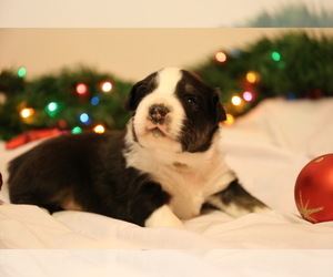 Australian Shepherd Puppy for sale in MUSKEGON, MI, USA