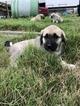 Puppy 0 Anatolian Shepherd-Great Pyrenees Mix