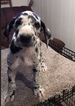 Great Dane Puppy For Sale in NORTH WEBSTER, IN, USA