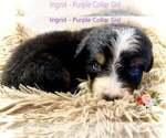 Puppy 5 Bernese Mountain Dog