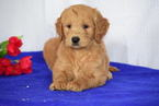 Goldendoodle Puppy For Sale in SUGARCREEK, OH,