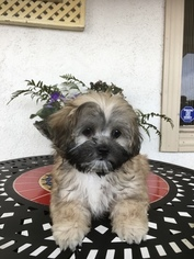 Morkie Puppy for sale in LOS ANGELES, CA, USA